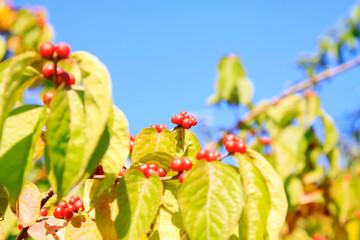 Honeysuckle plants honeysuckle fruit