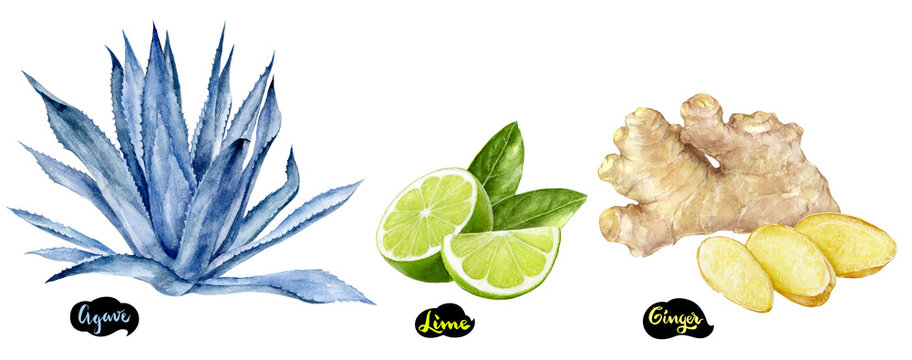 Ginger, lime and agave set watercolor hand drawn illustration.
