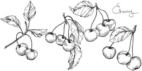 Vector Cherry fruit. Black and white engraved ink art. Isolated berry illustration element on white background.