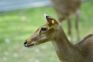 Rehbock in thailändischem Zoo, Deer