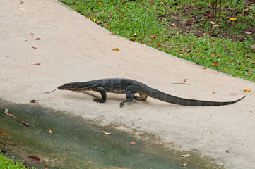 Monitor Lizard sticking out its tongue