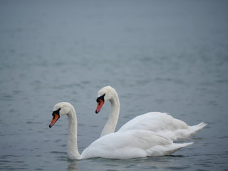 two swans swimming in the azure sea
