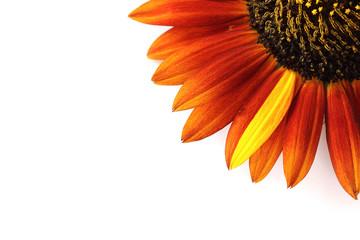 ヒマワリ 黄色と茶色の花びら