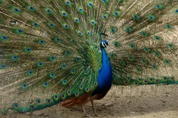 beautiful bird with big tail