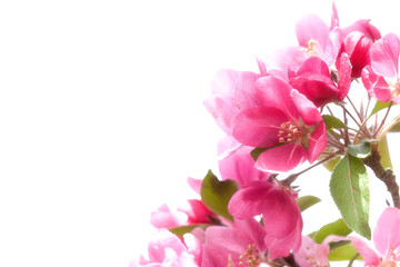 Spring: Pink blosooms close up for cards or graphic design wtih room for text