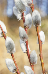 Close-up of spring pussy willow branches.