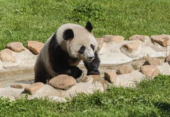 Poster Panda panda
