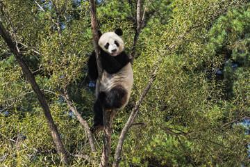 Tuinposter Panda panda