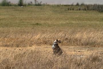 Geparden in der Serengeti