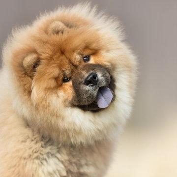 portrait of a dog, Lion Dog, Chow Chow