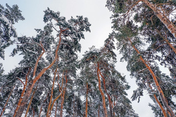 Beautiful winter forest. Trunks of trees covered with snow. Winter landscape. White snows covers ground and trees. Majestic atmosphere. Snow nature. Outdoor shot