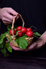 Fresh radish with tops in a wicker basket in the man's hands