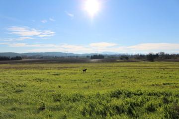 chien cané corso dans un champs
