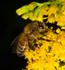 honeybee collects pollen from yellow flower goldenrod on a black background
