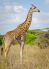 Giraffe in the wild. An animal with a long neck. Wild world of t