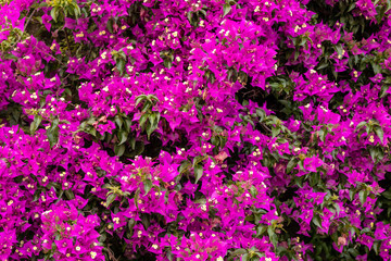 bush of colorful pink flowers in Italy in spring