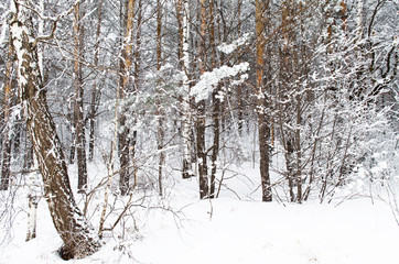 birch trees covered with snow in the forest