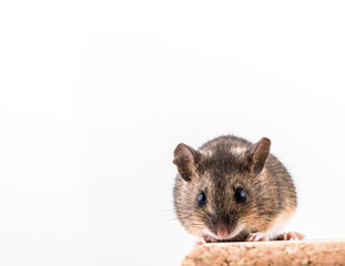 Wood mouse, Apodemus sylvaticus, sitting on a cork brick with light background, looking in camera