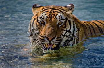 Tiger Realxing in a Pool. Letting Water run back out over Teeth and Tongue