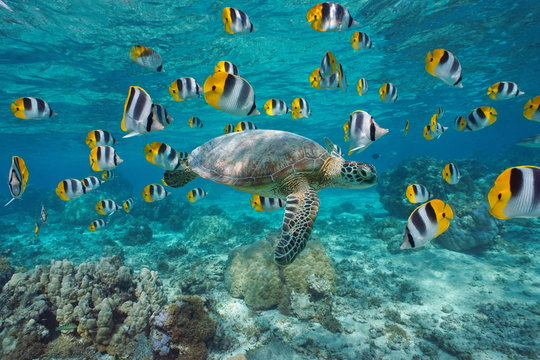 Sea turtle with school of fish French Polynesia