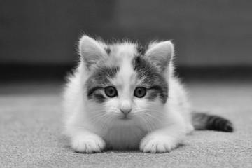 Cute white and tabby kitten. Felis sivestris. Domestic cat