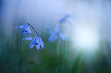 Blue Scilla, Siberian Squill (Scilla siberica) spring flower