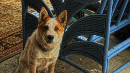 Australian Cattle Dog at Home near a Blue Bench