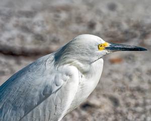 Egret watching