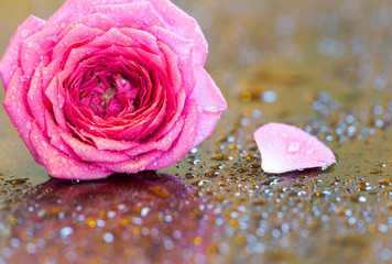 Pink Valentine's day background, greeting card idea with rose flower and copy space