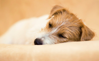 Cute jack russell lazy pet dog sleeping on the sofa