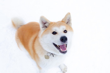 Young energetic Akita dog for a walk. Walking outdoors in the winter.  How to protect your pet from hypothermia.
