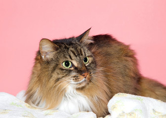 Close up portrait of a beautiful long haired brown and black Maine Coon cat looking to viewers right with wide eyed expression. Coral pink background with copy space.