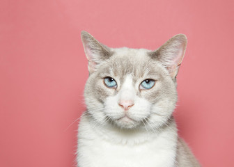 Close up portrait of a diluted siamese cat with beautiful blue eyes looking directly at viewer with skeptical expression, Coral pink background with copy space.