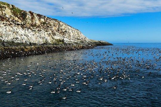 Colony Razorbills (Alca torda), floating, bird island, Hornoya, Vardo, Varanger, Norway, swimming, bird island, Europe