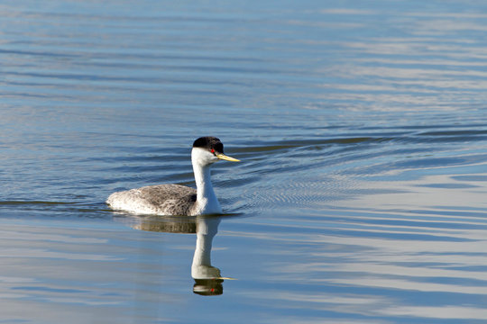 A Western Grebe swimming on a calm lake.  The western grebe is the largest North American grebe.