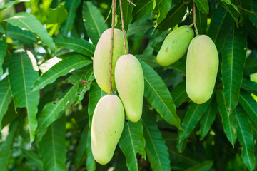 a lot of 5 mango on the tree in the garden, the faverite fruit in asian and Thailand