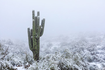 Foto op Plexiglas Cactus Arizona desert snow with Saguaro cactus
