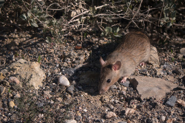 Brown rat searching the undergrowth for food.
