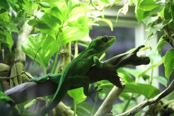 chameleon on a branch