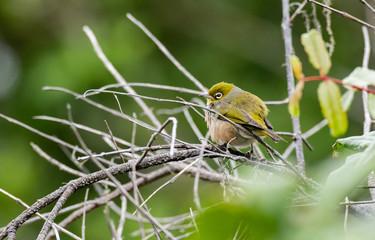 A Pretty Silvereye Perched on a Branch