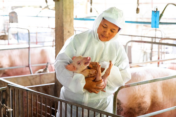 PIG FARM, WORKING IN PIG FARM, Veterinarian Doctor Examining Pigs at a Pig Farm