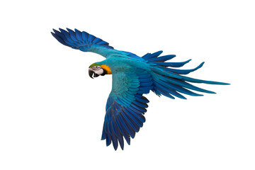 Blue and gold macaw flying isolated on white background Wall mural