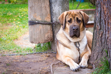 Big red dog breed Alabai lies in the garden next to a tree fastened with a chain.