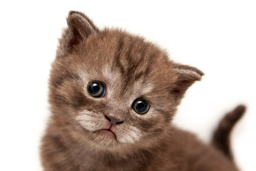 Cute brown funny face kitten closeup, british kitten with interest looking directly at the camera.
