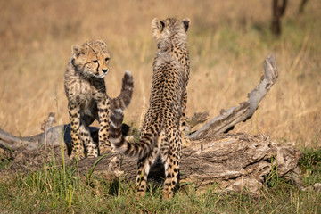 Two cheetah cubs leaning on dead log