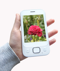 Smartphone with image of red rose in hand. Modern mobile phone in hand isolated