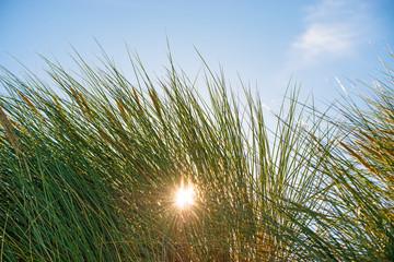 European marram grass in back light with blue sky