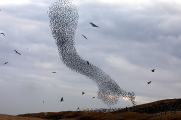 A murmuration of migrating starlings fly in a group next to black kites near the city of Rahat, southern Israel