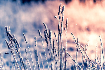 Hoarfrost on dry grass. Frosted grass at cold winter day, natural winter background. Dry grass covered with fragile hoarfrost and snow in cold winter day