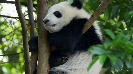 Wall Mural - Baby panda dozing off. A funny panda bear falling asleep sitting on a tree in the green. UHD